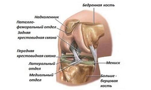 УЗИ коленного сустава строение