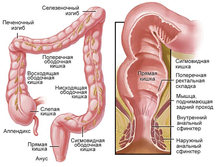 УЗИ строение кишечника