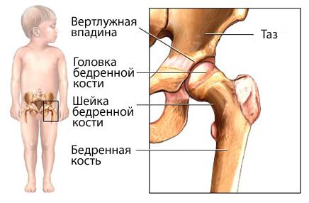 Тазобедренный сустав строение