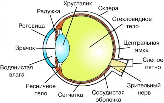 Строение глаза на УЗИ