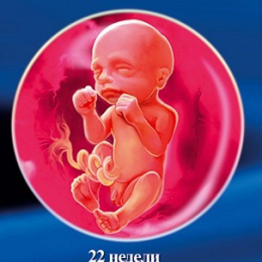 Беременность с 1 по 22недели плода