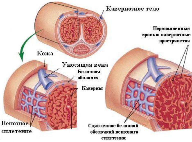 кавернозные тела пениса