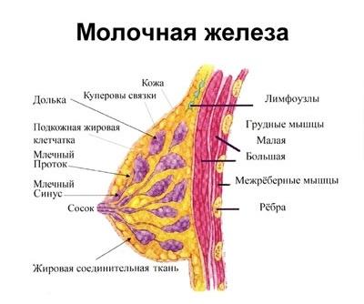 Узи молочной железы строение