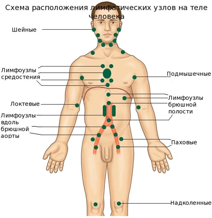 схема лимфотических узлов